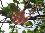 桜20.JPG